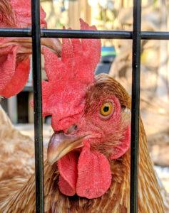 chicken photographer